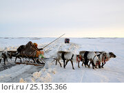 Купить «Nenet herder driving Reindeer sled (Rangifer tarandus) across ice road for trucks to nothern gas and oil plants. Yar-Sale district, Yamal, Northwest Siberia, Russia. April 2016.», фото № 25135366, снято 21 ноября 2019 г. (c) Nature Picture Library / Фотобанк Лори
