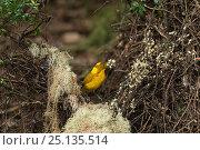 Купить «Golden bowerbird (Prionodura newtoniana) bower with his lichen and flower arrangements.   Atherton Tablelands, Queensland, Australia. Endemic.», фото № 25135514, снято 22 января 2019 г. (c) Nature Picture Library / Фотобанк Лори