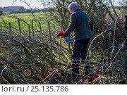 Купить «Traditional hedge laying, Fosse Cross, Gloucestershire, UK. November 2015.», фото № 25135786, снято 19 августа 2018 г. (c) Nature Picture Library / Фотобанк Лори