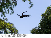 Купить «Black-handed spider monkey (Ateles geoffroyi) leaping from tree to tree, Osa Peninsula, Costa Rica.», фото № 25136094, снято 13 февраля 2020 г. (c) Nature Picture Library / Фотобанк Лори