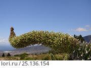 Купить «White echium / White tower of jewels (Echium simplex) flowering on mountainside, Tenerife, Canary Islands, May.», фото № 25136154, снято 18 октября 2019 г. (c) Nature Picture Library / Фотобанк Лори