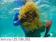 Купить «Diver collecting edible algae (Eucheuma sp.) Lighthouse Reef Atoll, Belize. May 2015. Model released.», фото № 25136202, снято 15 июля 2020 г. (c) Nature Picture Library / Фотобанк Лори