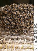 Купить «Honeybees (Apis melifera) in straw beehive or skep, Alpilles, France, April.», фото № 25136362, снято 19 августа 2018 г. (c) Nature Picture Library / Фотобанк Лори