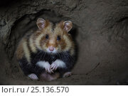 Купить «European hamster (Cricetus cricetus) male, in underground burrow, captive.», фото № 25136570, снято 15 октября 2019 г. (c) Nature Picture Library / Фотобанк Лори
