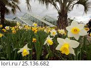 Купить «Daffodils (Narcissus sp) outside Princess of Wales Conservatory, Kew Gardens, London, UK. 23 April 2016», фото № 25136682, снято 19 августа 2018 г. (c) Nature Picture Library / Фотобанк Лори
