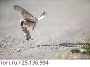 Купить «Red-backed shrike (Lanius collurio) flying with bank vole (Myodes glareolus) Lower Saxony, Germany, May.», фото № 25136994, снято 18 октября 2019 г. (c) Nature Picture Library / Фотобанк Лори