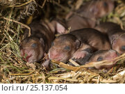 Купить «European hamster (Cricetus cricetus) age six days, captive.», фото № 25137054, снято 22 мая 2018 г. (c) Nature Picture Library / Фотобанк Лори