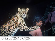 Купить «Big cat tamer with Leopard (Panthera pardus) Great Royal Circus, Bombay / Mumbai, India.», фото № 25137126, снято 18 февраля 2018 г. (c) Nature Picture Library / Фотобанк Лори