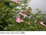 Купить «Red-backed shrike (Lanius collurio) adult male, with insect prey in its beak,  Lower Saxony, Germany, June.», фото № 25137246, снято 22 мая 2019 г. (c) Nature Picture Library / Фотобанк Лори