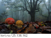 Купить «Fly agaric (Amanita muscaria) in foggy forest, Los Alcornocales Natural Park,  southern Spain, January.», фото № 25138162, снято 20 августа 2018 г. (c) Nature Picture Library / Фотобанк Лори