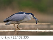 Купить «Black-crowned night heron (Nycticorax nycticorax) swallowing a fish, Pusztaszer, Hungary, April», фото № 25138330, снято 25 июня 2019 г. (c) Nature Picture Library / Фотобанк Лори