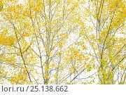 Купить «Poplar trees (Populus sp) in autumn, Sierra de Grazalema Natural Park, southern Spain, October.», фото № 25138662, снято 18 сентября 2018 г. (c) Nature Picture Library / Фотобанк Лори