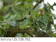 Купить «Siberian Chipmunk (Tamias sibiricus) introduced species, up in tree, near Paris, France September», фото № 25138702, снято 16 января 2019 г. (c) Nature Picture Library / Фотобанк Лори