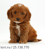 Купить «Cockapoo, Cocker spaniel cross Poodle puppy sitting.», фото № 25138770, снято 17 марта 2018 г. (c) Nature Picture Library / Фотобанк Лори