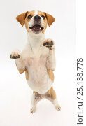 Купить «Jack Russell Terrier, Bobby, standing up on hind legs.», фото № 25138778, снято 23 сентября 2018 г. (c) Nature Picture Library / Фотобанк Лори