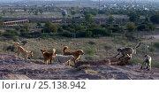 Купить «Southern plains grey langur / Hanuman langurs (Semnopithecus dussumieri) in confrontation with domestic dogs . Jodhpur, Rajasthan, India. March.», фото № 25138942, снято 17 августа 2018 г. (c) Nature Picture Library / Фотобанк Лори