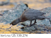New Zealand Blue duck (Hymenolaimus malacorhynchos) perched on mid-stream boulder in late evening light. Hollyford River, Fiordland National Park, South... Стоковое фото, фотограф Andy Trowbridge / Nature Picture Library / Фотобанк Лори