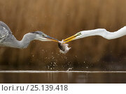 Купить «Great egret (Ardea alba) fighting over fish with Grey heron (Ardea cinerea) Lake Csaj, Kiskunsagi National Park, Pusztaszer, Hungary. January.», фото № 25139418, снято 5 июля 2020 г. (c) Nature Picture Library / Фотобанк Лори