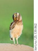 Купить «Burrowing owl  (Athene cunicularia) fledgling with head on side, Pantanal, Brazil. November.», фото № 25139862, снято 21 октября 2018 г. (c) Nature Picture Library / Фотобанк Лори