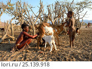 Купить «Himba girl with traditional double plait hairstyle milking a goat. Marienfluss Valley, Kaokoland Desert, Namibia. October 2015», фото № 25139918, снято 9 июля 2020 г. (c) Nature Picture Library / Фотобанк Лори
