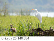 Купить «Great egret (Ardea alba) and Egyptian goose (Alopochen aegyptiacus) male, Akagera National Park, Rwanda.», фото № 25140334, снято 26 мая 2019 г. (c) Nature Picture Library / Фотобанк Лори