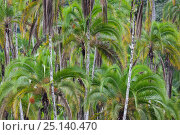 Купить «Palm trees (Arecaceae) in tropical rainforest, Lake Lobak / Lobeke National Park, South East Cameroon, July.», фото № 25140470, снято 28 мая 2018 г. (c) Nature Picture Library / Фотобанк Лори