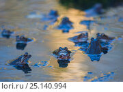 Купить «Common frogs (Rana temporaria) in breeding pond with spawn, Burgundy, France, February.», фото № 25140994, снято 15 августа 2018 г. (c) Nature Picture Library / Фотобанк Лори