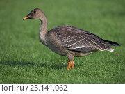 Купить «Bean goose (Anser fabalis) juvenile, Espoo, Finland, October.», фото № 25141062, снято 4 июля 2020 г. (c) Nature Picture Library / Фотобанк Лори