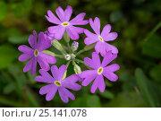 Купить «Bird's Eye primrose (Primula laurentiana) Nordtirol, Austrian Alps. June.», фото № 25141078, снято 24 января 2020 г. (c) Nature Picture Library / Фотобанк Лори