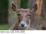 Купить «White lipped / Thorold's deer (Cervus albirostris) portrait, captive, occurs Eastern Tibetan Plateau, China. Vulnerable species.», фото № 25141470, снято 27 мая 2019 г. (c) Nature Picture Library / Фотобанк Лори