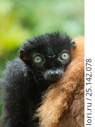 Купить «Blue-eyed / Sclater's black lemur (Eulemur flavifrons) male sitting next to female, captive, endemic to Madagascar., Critically Endangered.», фото № 25142078, снято 24 апреля 2019 г. (c) Nature Picture Library / Фотобанк Лори