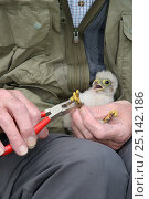 Купить «Kestrel chick (Falco tinnunculus) being ringed after being found during a nestbox survey for the the Hawk and Owl Trust's Kestrel Highways project, Congresbury, Somerset, UK, June. Model released.», фото № 25142186, снято 15 октября 2018 г. (c) Nature Picture Library / Фотобанк Лори