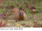 Siberian weasel (Mustela sibirica) Basongcuo National Park, Tibet,   November. Стоковое фото, фотограф Dong Lei / Nature Picture Library / Фотобанк Лори
