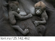 Купить «Western lowland gorilla (Gorilla gorilla gorilla) twin babies age 45 days, resting on mother's chest, captive, occurs in Central Africa. Critically endangered.», фото № 25142462, снято 19 сентября 2019 г. (c) Nature Picture Library / Фотобанк Лори