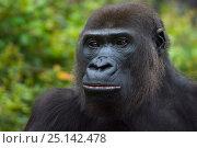 Купить «Western lowland gorilla (Gorilla gorilla gorilla) portrait, captive, occurs in Central Africa. Critically endangered.», фото № 25142478, снято 24 апреля 2019 г. (c) Nature Picture Library / Фотобанк Лори