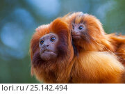 Купить «Golden lion tamarin (Leontopithecus rosalia) mother with baby on back. Captive, occurs in the Atlantic Rainforest of Brazil. Critically endangered.», фото № 25142494, снято 22 апреля 2019 г. (c) Nature Picture Library / Фотобанк Лори