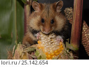 Купить «European hamster (Cricetus cricetus) feeding on maize, Captive, occurs in Europe and Western Asia, October.», фото № 25142654, снято 27 мая 2018 г. (c) Nature Picture Library / Фотобанк Лори