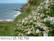Купить «Sea campion (Silene maritima) flowering on slumping cliff, Widemouth Bay, Cornwall, UK, May.», фото № 25142766, снято 19 февраля 2019 г. (c) Nature Picture Library / Фотобанк Лори