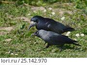 Купить «Jackdaw (Corvus monedula) foraging on a lawn alongside a Rook (Corvus frugilegus), Gloucestershire, UK, April.», фото № 25142970, снято 23 сентября 2018 г. (c) Nature Picture Library / Фотобанк Лори