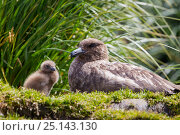 Brown skua (Catharacta antarctica) resting beside chick near nest, Salisbury Plain, South Georgia, South Atlantic, January. Стоковое фото, фотограф Brent Stephenson / Nature Picture Library / Фотобанк Лори