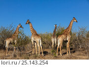 Купить «Reticulated giraffes (Giraffa camelopardalis) group of bachelor males after a fight between two, South Africa», фото № 25143254, снято 20 августа 2018 г. (c) Nature Picture Library / Фотобанк Лори