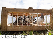 Купить «Racing pigeons (Columba livia) in a crate about to be released for a training flight back to their loft, Goldcliff, Monmouthshire, Wales, UK, August.», фото № 25143274, снято 19 августа 2018 г. (c) Nature Picture Library / Фотобанк Лори