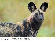 Купить «African wild dog (Lycaon pictus) iMfolozi National Park South Africa.», фото № 25143286, снято 21 марта 2019 г. (c) Nature Picture Library / Фотобанк Лори