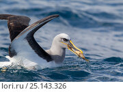 Buller's albatross (Thalassarche bulleri) with dead fish grabbed from sea surface behind a boat, off Whitianga, Coromandel, New Zealand, October. Стоковое фото, фотограф Brent Stephenson / Nature Picture Library / Фотобанк Лори