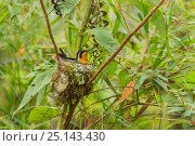 Купить «Purple-throated mountain gem hummingbird (Lampornis calolaemus) hummingbird adult female on nest, Costa Rica.», фото № 25143430, снято 16 июля 2019 г. (c) Nature Picture Library / Фотобанк Лори