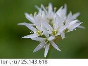 Wild Garlic / Ramsons (Allium ursinum) flower,  Isle of Mull, Scotland, UK. June. Стоковое фото, фотограф Alex Hyde / Nature Picture Library / Фотобанк Лори