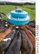 Купить «Friesian-Jersey cross calves (Bos taurus) feeding from a mobile milk feeding machine, Ashley Clinton, Hawkes Bay, New Zealand, September.», фото № 25143686, снято 17 июня 2019 г. (c) Nature Picture Library / Фотобанк Лори