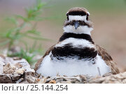 Купить «Killdeer (Charadrius vociferus) on nest, Laredo Borderlands, Texas, USA. April», фото № 25144254, снято 21 августа 2018 г. (c) Nature Picture Library / Фотобанк Лори