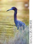 Купить «Little blue heron (Egretta caerulea) Laredo Borderlands, Texas, USA. April», фото № 25144410, снято 18 июня 2019 г. (c) Nature Picture Library / Фотобанк Лори