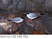 Купить «Pair of Swallow-tailed gulls (Creagrus furcatus) North Seymour Island, Galapagos Islands, East Pacific Ocean.», фото № 25145102, снято 22 апреля 2019 г. (c) Nature Picture Library / Фотобанк Лори
